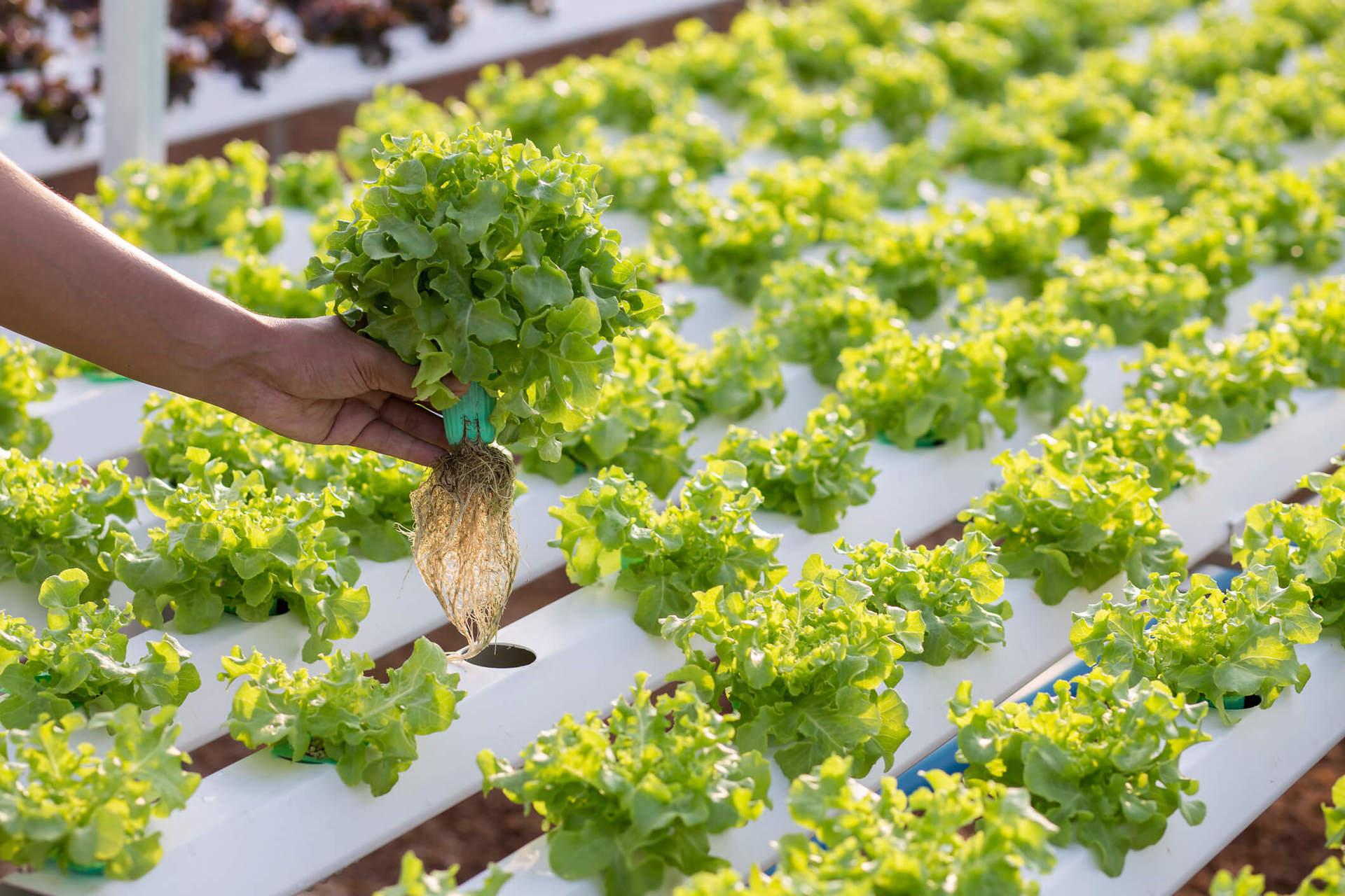 Hidroponia conhe a a t cnica de cultivo na gua for Sustrato para mesa de cultivo